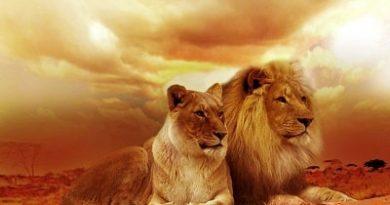 Aslanların Özellikleri