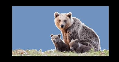 ayıların özellikleri nelerdir