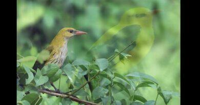 sarı asma kuşu
