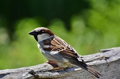 Serçe Kuşlarının Özellikleri