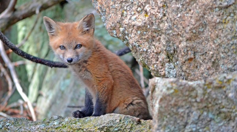 The fox and old woman