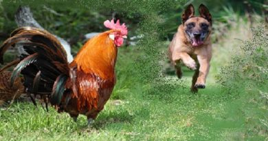 The Rooster and Fox