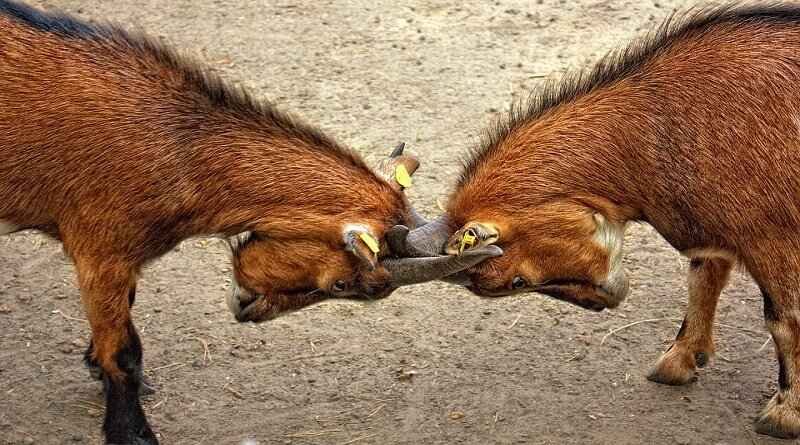 iki inatçı keçi