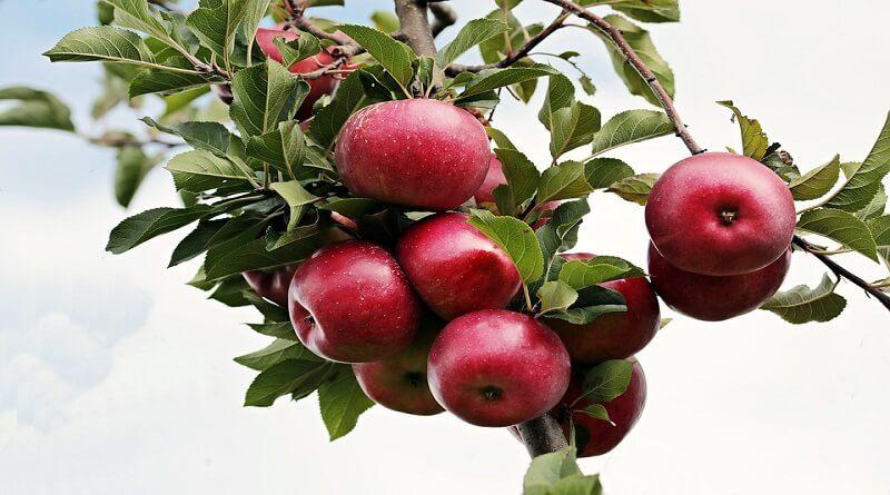 elmanın faydaları nelerdir