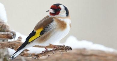 Saka Kuşlarının Özellikleri
