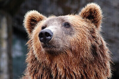 features of bears