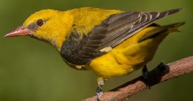 Baltimore Golden Oriole Features