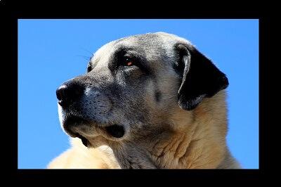 Kangal Shepherd Dog Features