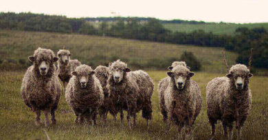 Hazreti Süleyman ile Koyun Sürüsü ve Tarla Sahibi
