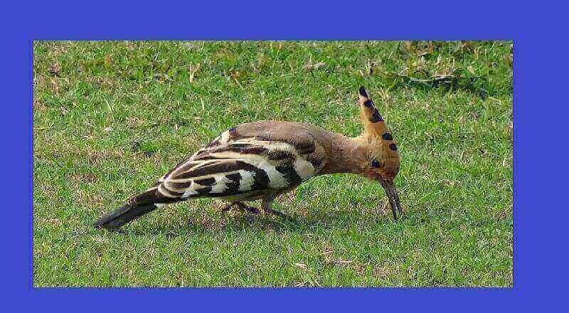 İbibik Kuşunun Özellikleri