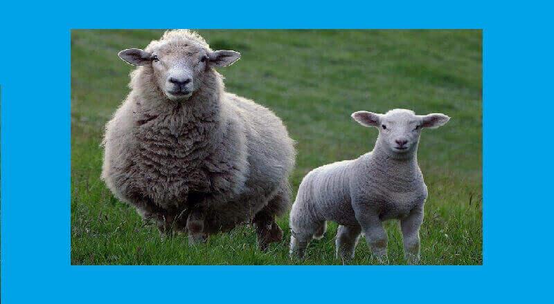 koyun ile kuzusu masalı