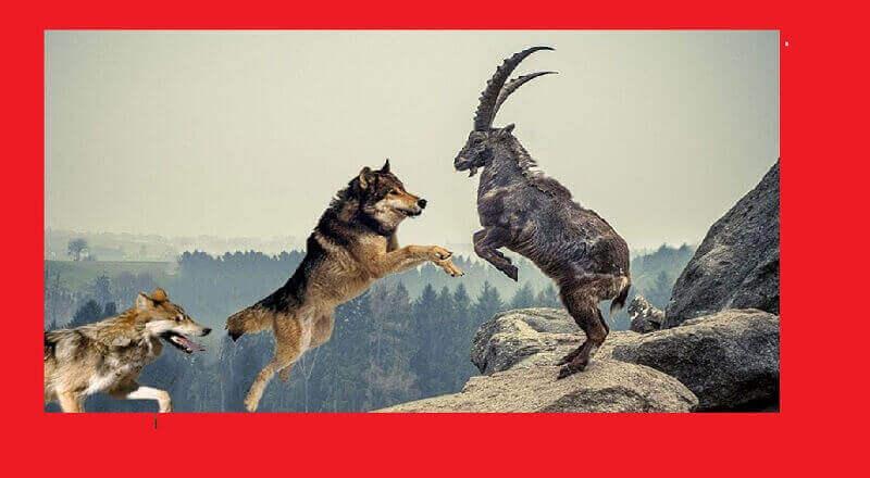 Keçi, Koyun, Kuzu, Köpek ve On iki Kurt