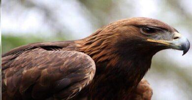 Şahin Kuşu özellikleri Nelerdir